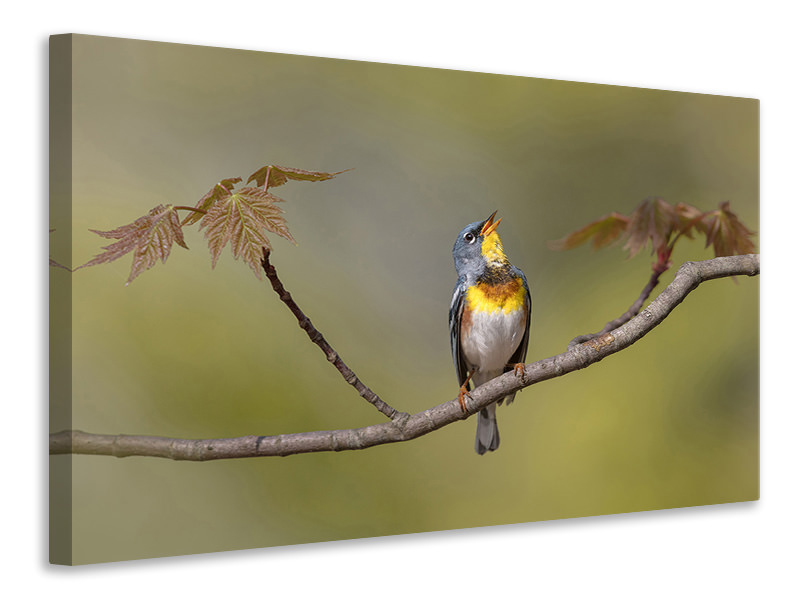 Canvas print Parula On Stage